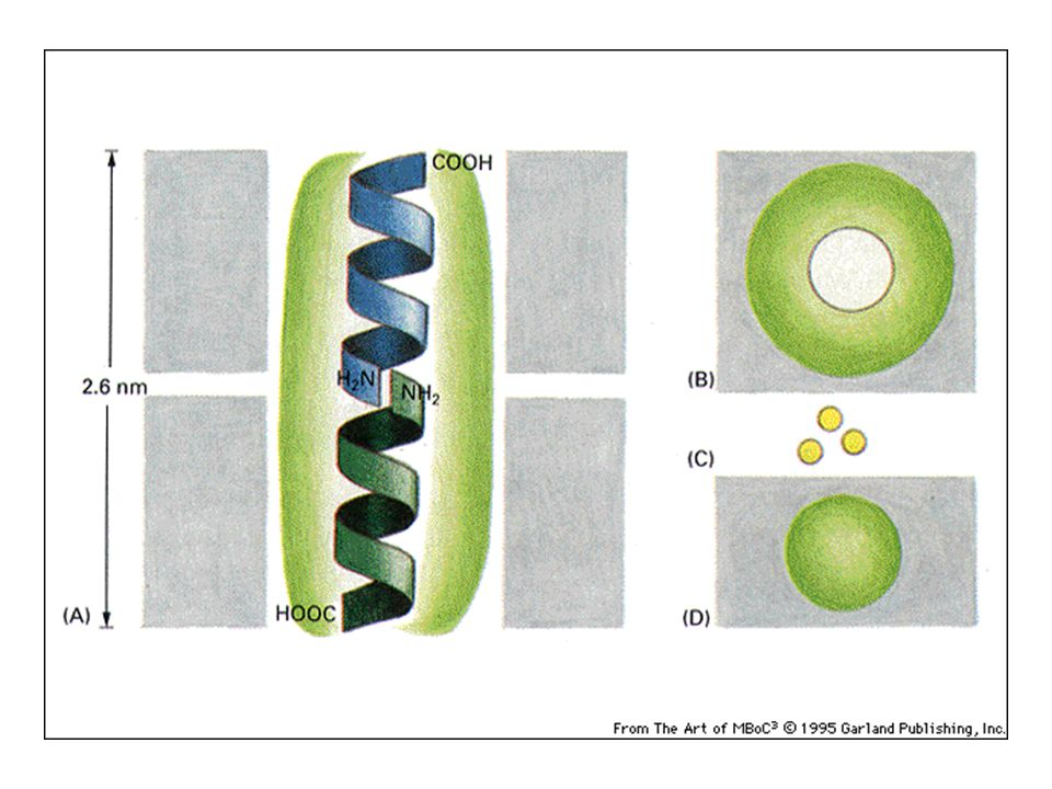 Figure 12-3 Essential Cell Biology (© Garland Science 2010)