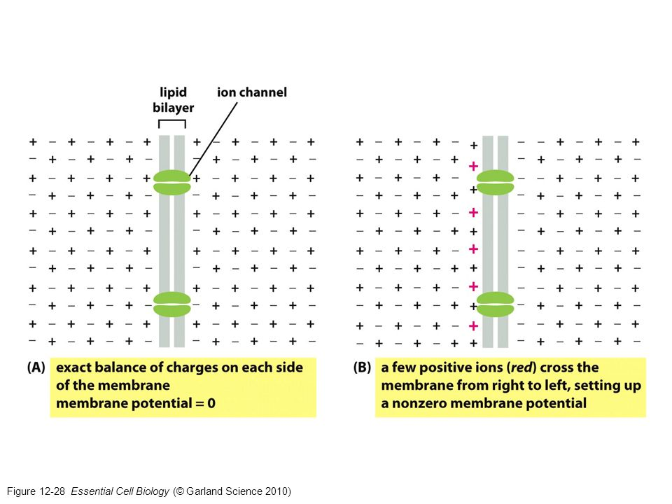 Figure 12-29 Essential Cell Biology (© Garland Science 2010)