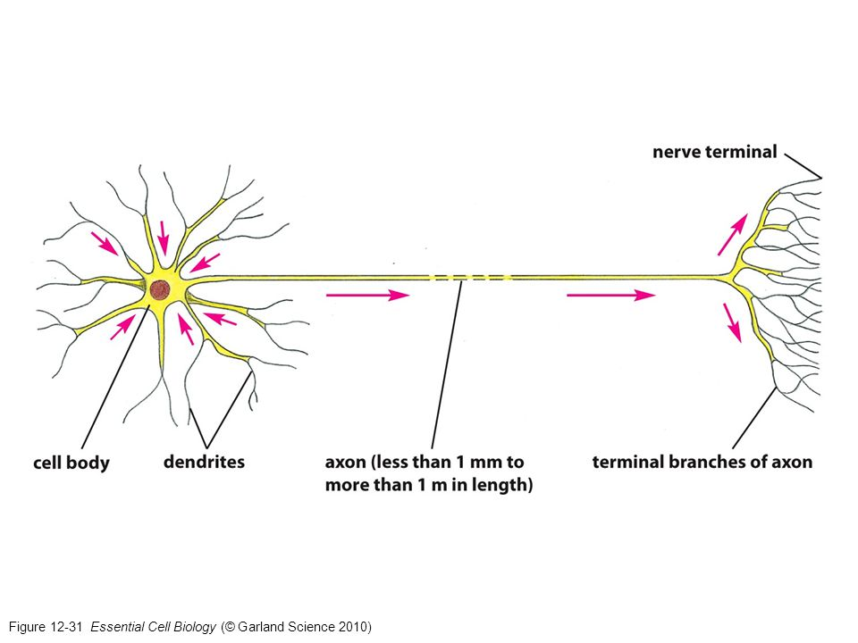 Figure 12-32 Essential Cell Biology (© Garland Science 2010)