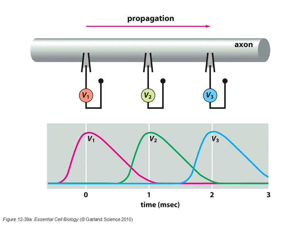 Figure 12-39b Essential Cell Biology (© Garland Science 2010)