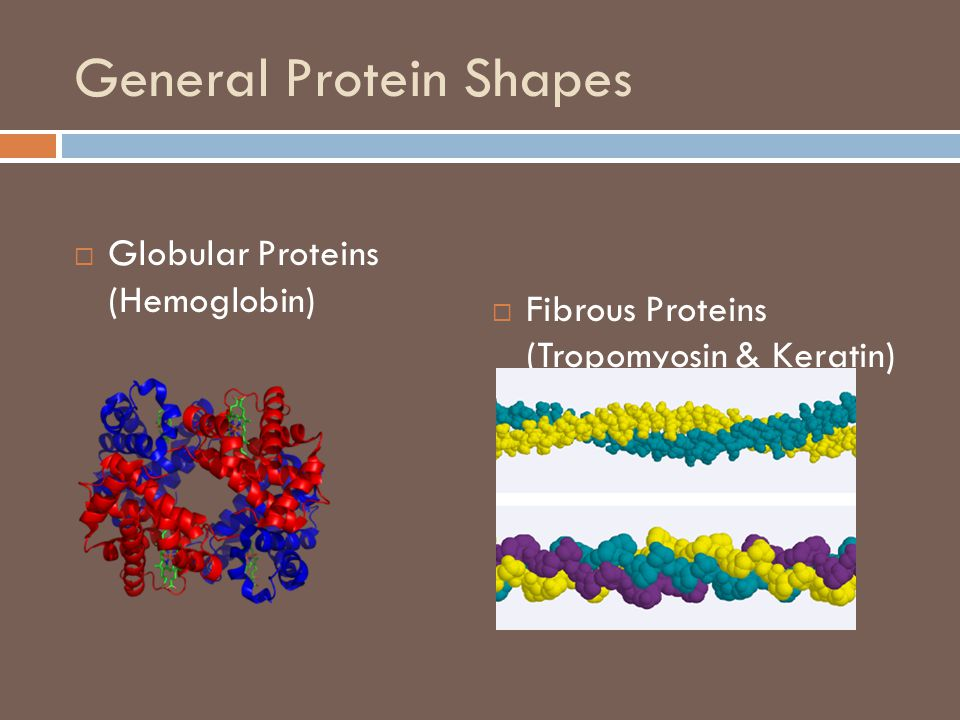 General Protein Shapes  Globular Proteins (Hemoglobin)  Fibrous Proteins (Tropomyosin & Keratin)