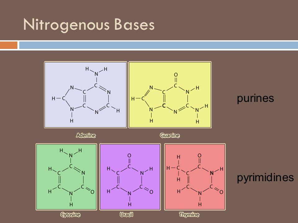 Nitrogenous Bases purines pyrimidines