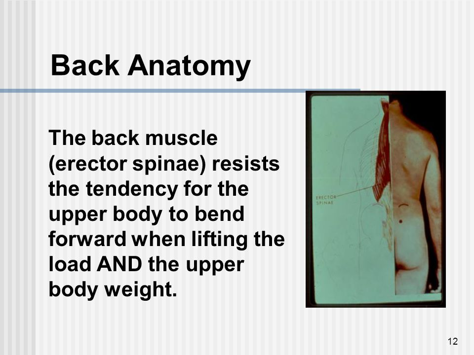 12 Back Anatomy The back muscle (erector spinae) resists the tendency for the upper body to bend forward when lifting the load AND the upper body weig