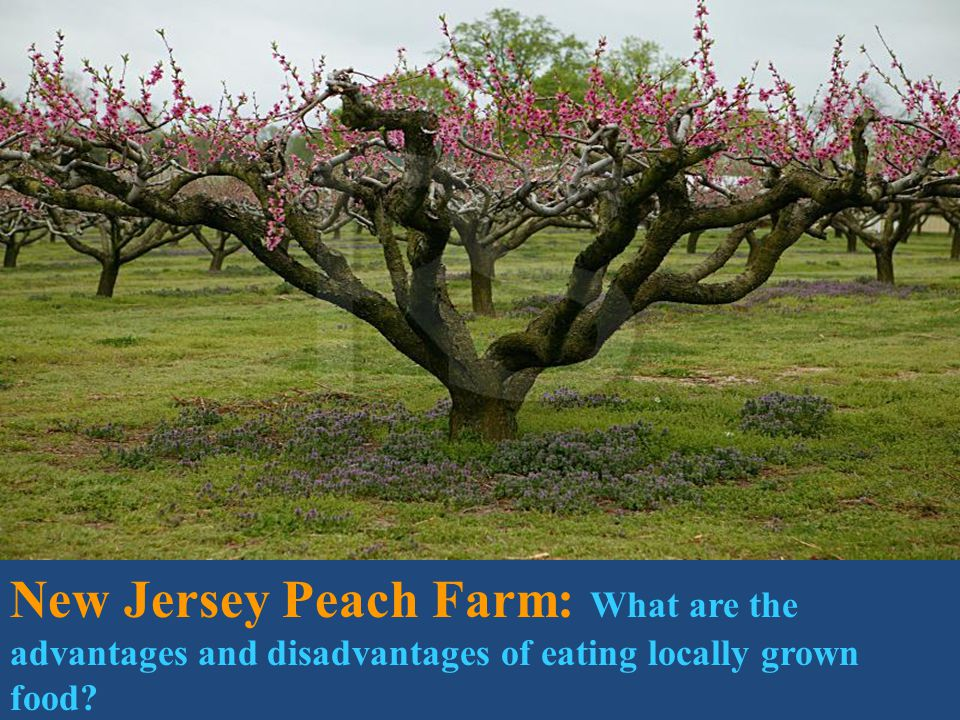 U.S. Food travels avg. of 1,500 miles from farm to fork in U.S. New Jersey Peach Farm: What are the advantages and disadvantages of eating locally gro