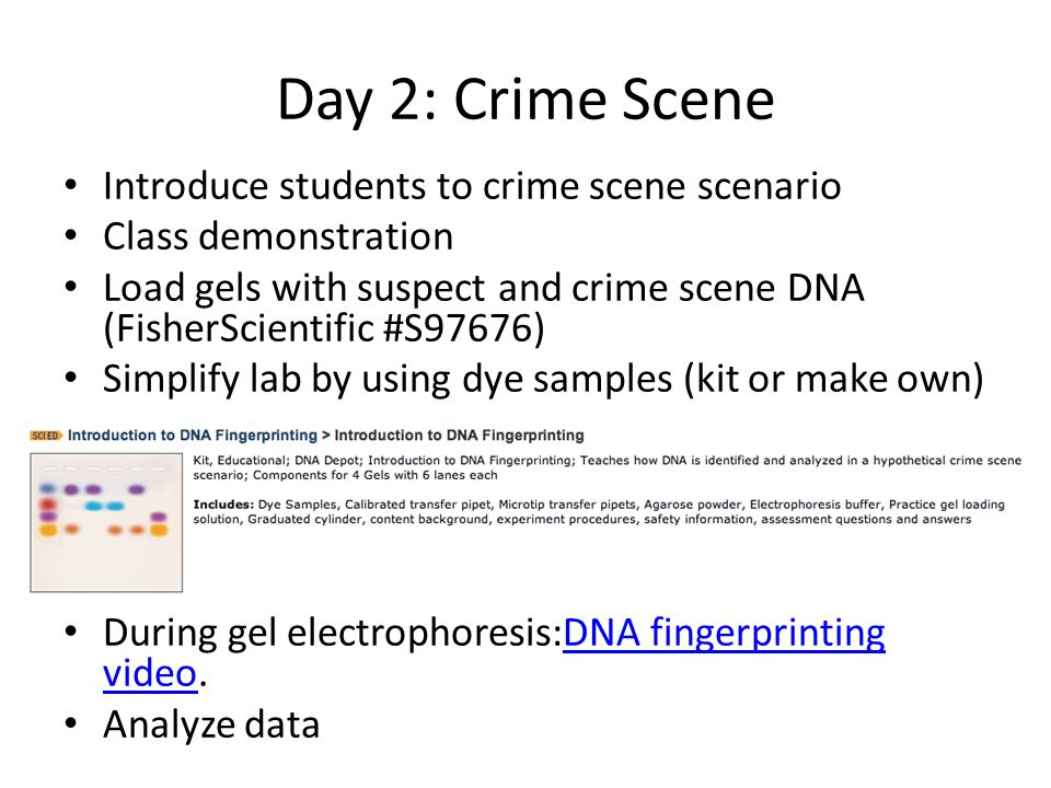 Day 2: Crime Scene Introduce students to crime scene scenario Class demonstration Load gels with suspect and crime scene DNA (FisherScientific #S97676) Simplify lab by using dye samples (kit or make own) During gel electrophoresis:DNA fingerprinting video.DNA fingerprinting video Analyze data