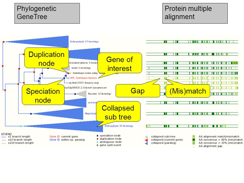 Duplication node Speciation node Phylogenetic GeneTree Protein multiple alignment Collapsed sub tree (Mis)match Gene of interest Gap