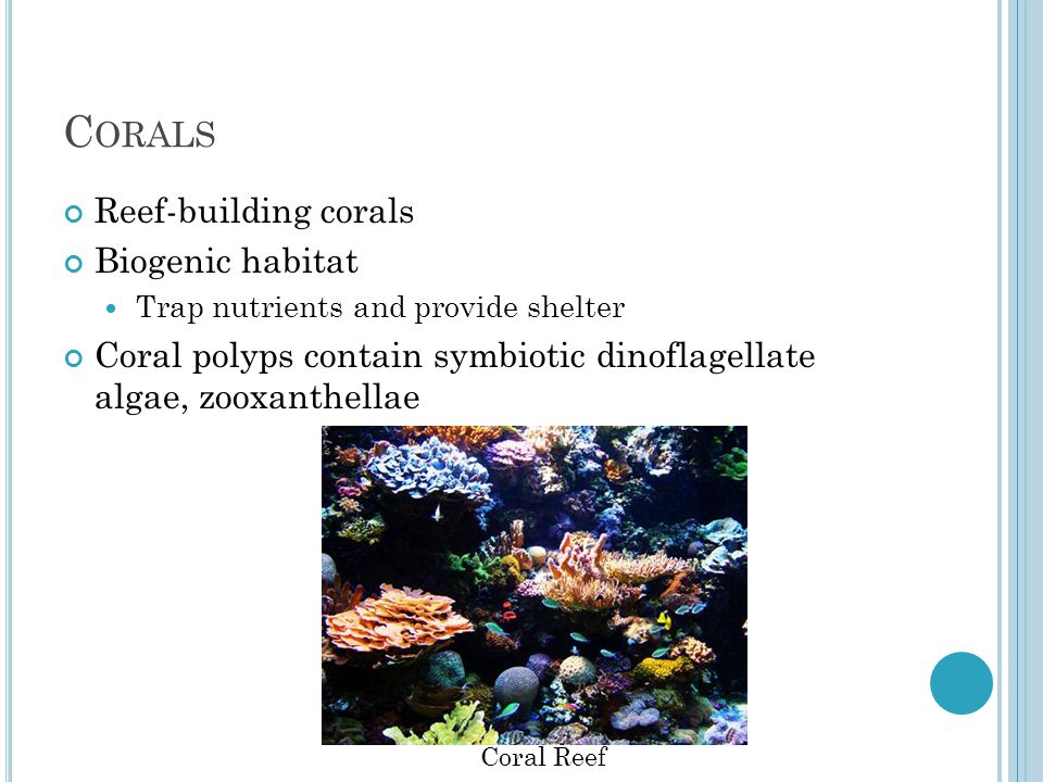 C ORALS Reef-building corals Biogenic habitat Trap nutrients and provide shelter Coral polyps contain symbiotic dinoflagellate algae, zooxanthellae Coral Reef