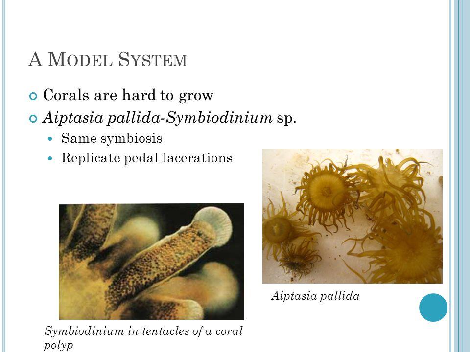A M ODEL S YSTEM Corals are hard to grow Aiptasia pallida-Symbiodinium sp.
