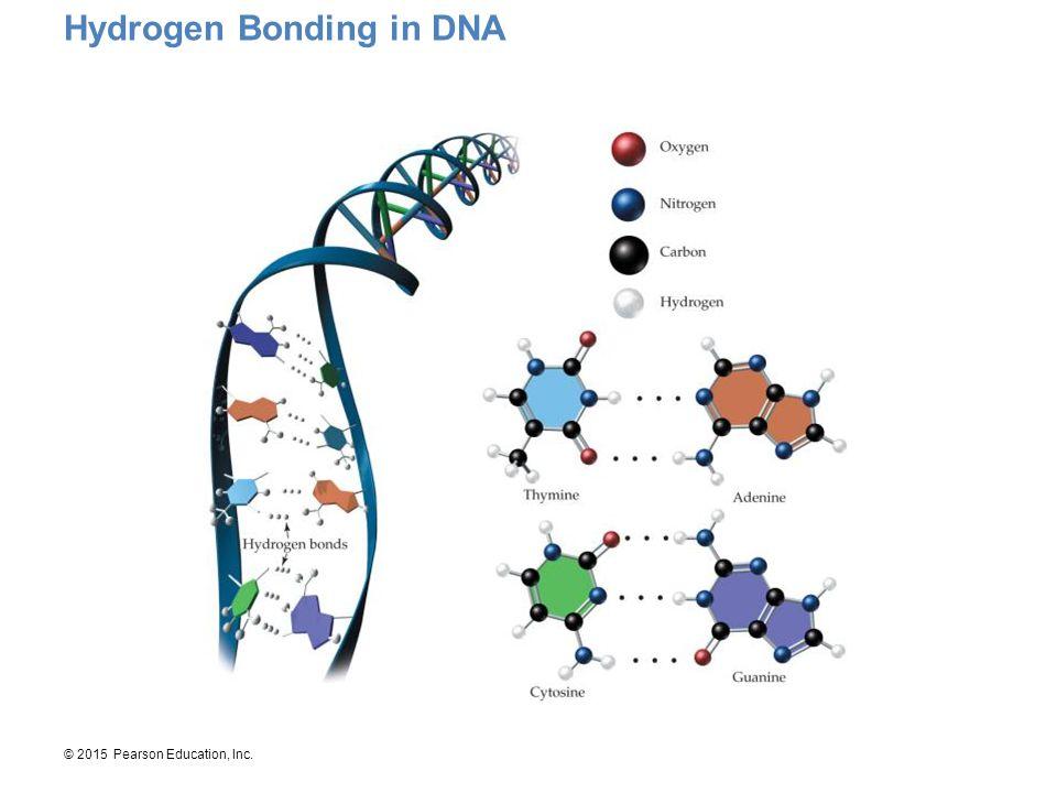 © 2015 Pearson Education, Inc. Hydrogen Bonding in DNA