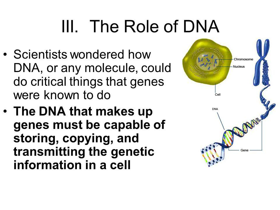 III. The Role of DNA Scientists wondered how DNA, or any molecule, could do critical things that genes were known to do The DNA that makes up genes mu