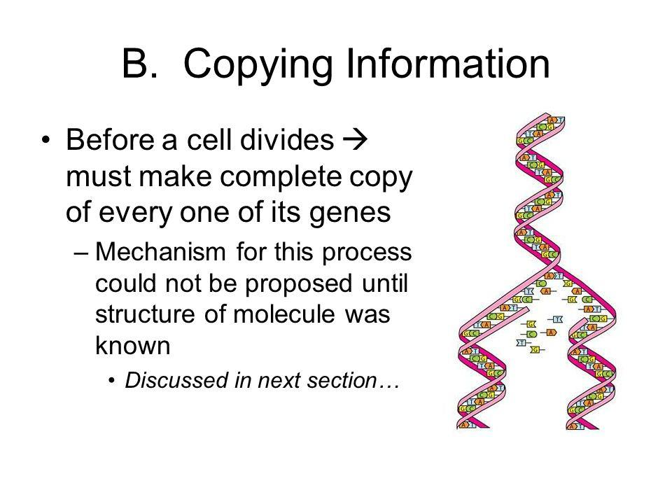 B. Copying Information Before a cell divides  must make complete copy of every one of its genes –Mechanism for this process could not be proposed unt