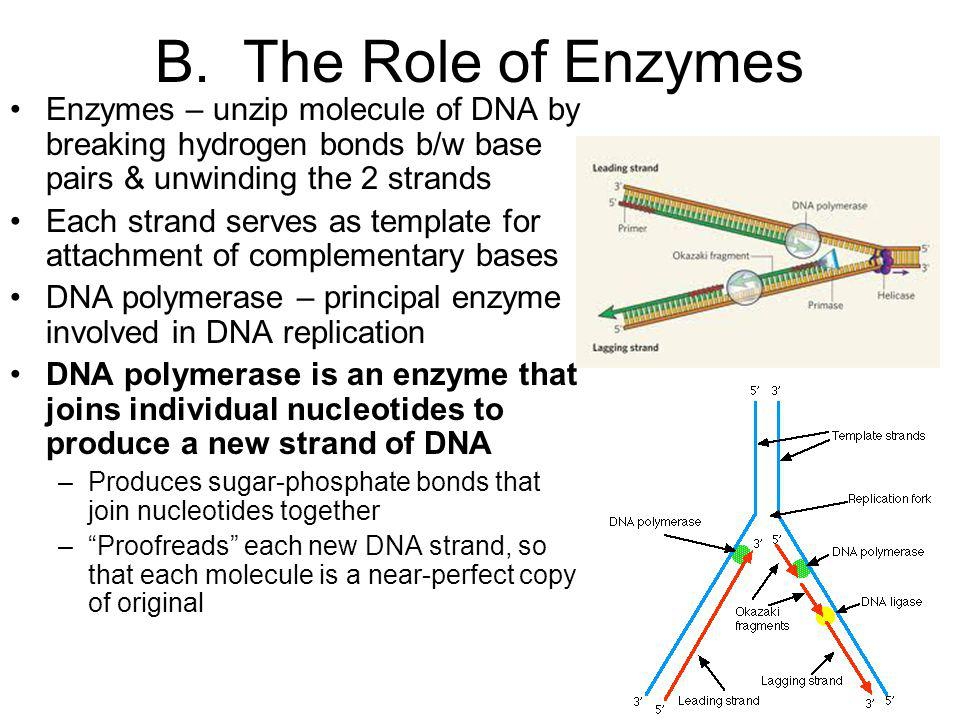 B. The Role of Enzymes Enzymes – unzip molecule of DNA by breaking hydrogen bonds b/w base pairs & unwinding the 2 strands Each strand serves as templ
