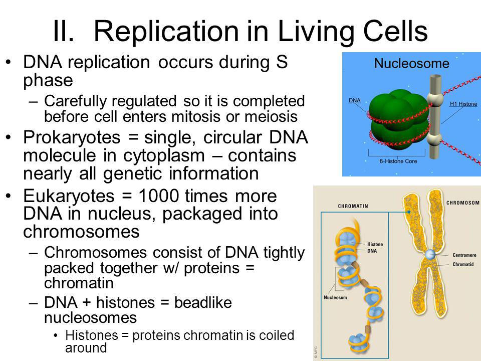 II. Replication in Living Cells DNA replication occurs during S phase –Carefully regulated so it is completed before cell enters mitosis or meiosis Pr