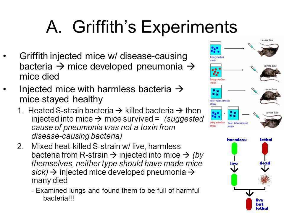 A. Griffith's Experiments Griffith injected mice w/ disease-causing bacteria  mice developed pneumonia  mice died Injected mice with harmless bacter
