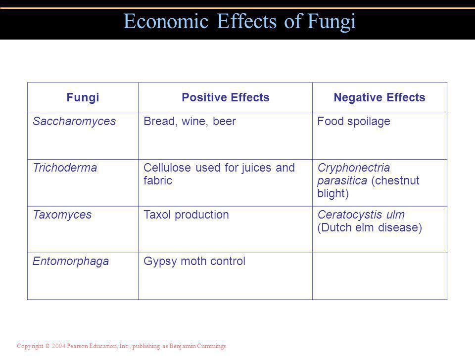 Economic Effects of Fungi FungiPositive EffectsNegative Effects SaccharomycesBread, wine, beerFood spoilage TrichodermaCellulose used for juices and fabric Cryphonectria parasitica (chestnut blight) TaxomycesTaxol productionCeratocystis ulm (Dutch elm disease) EntomorphagaGypsy moth control