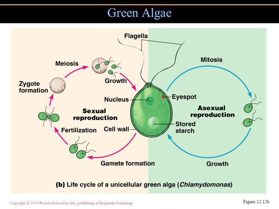 Copyright © 2004 Pearson Education, Inc., publishing as Benjamin Cummings Figure 12.12b Green Algae