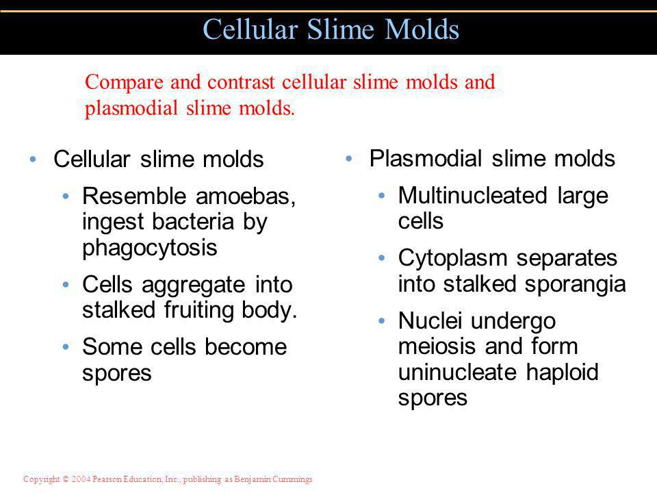 Cellular slime molds Resemble amoebas, ingest bacteria by phagocytosis Cells aggregate into stalked fruiting body.