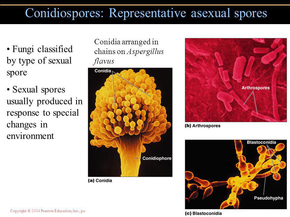 Copyright © 2004 Pearson Education, Inc., publishing as Benjamin Cummings Conidiospores: Representative asexual spores Figure 12.5 Conidia arranged in chains on Aspergillus flavus Fungi classified by type of sexual spore Sexual spores usually produced in response to special changes in environment