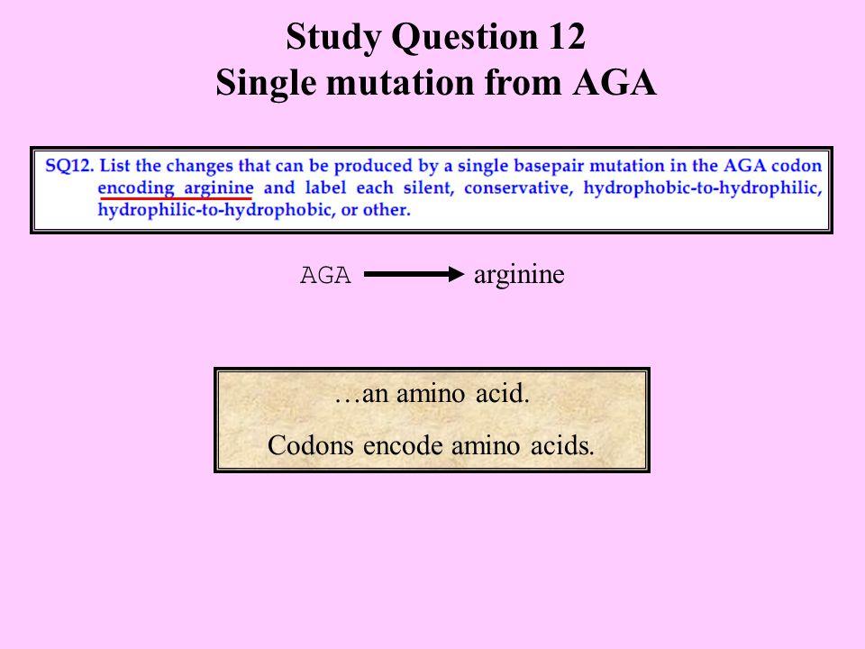 Study Question 12 Single mutation from AGA …an amino acid. Codons encode amino acids. AGA arginine
