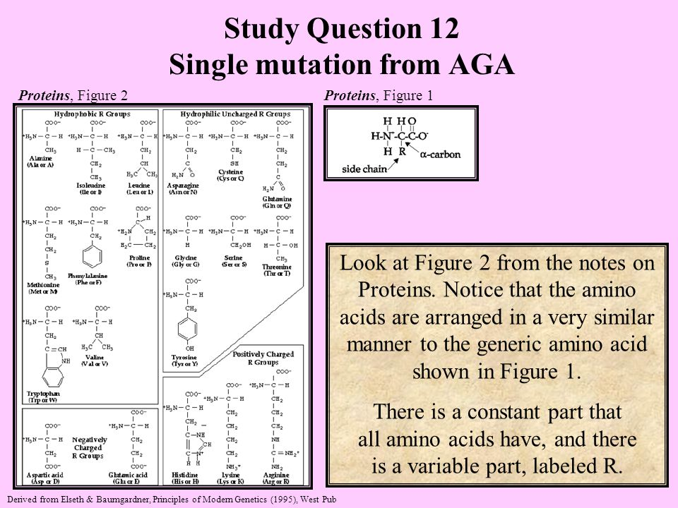 Study Question 12 Single mutation from AGA Look at Figure 2 from the notes on Proteins.