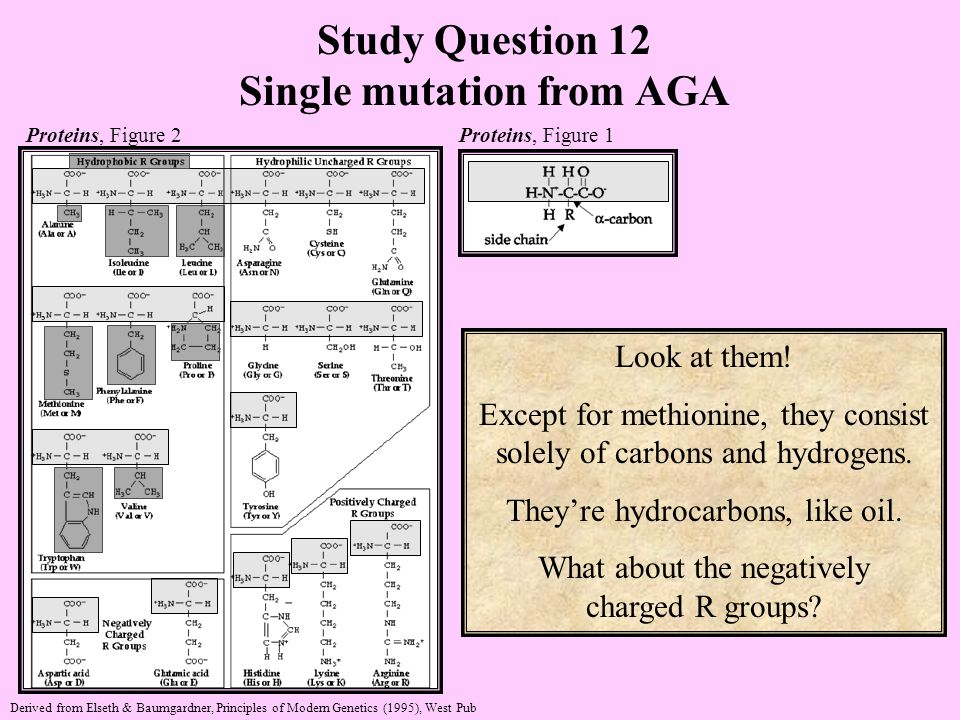 Study Question 12 Single mutation from AGA Look at them.
