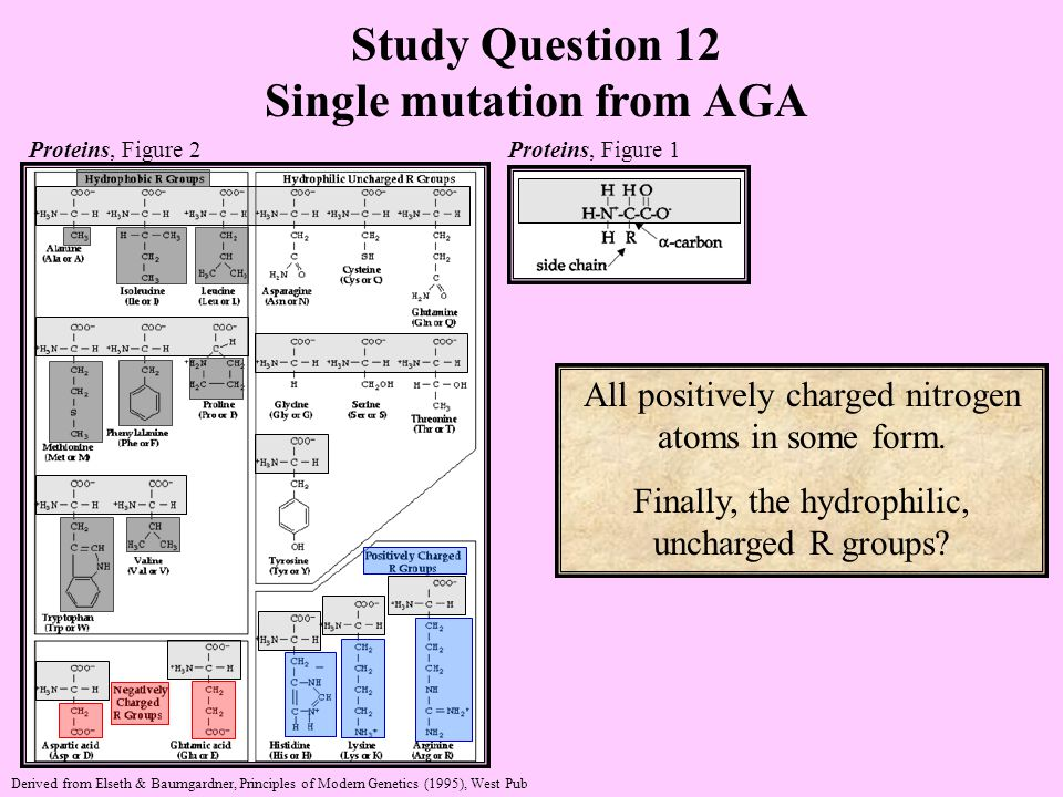 Study Question 12 Single mutation from AGA Proteins, Figure 2 Proteins, Figure 1 Derived from Elseth & Baumgardner, Principles of Modern Genetics (1995), West Pub All positively charged nitrogen atoms in some form.