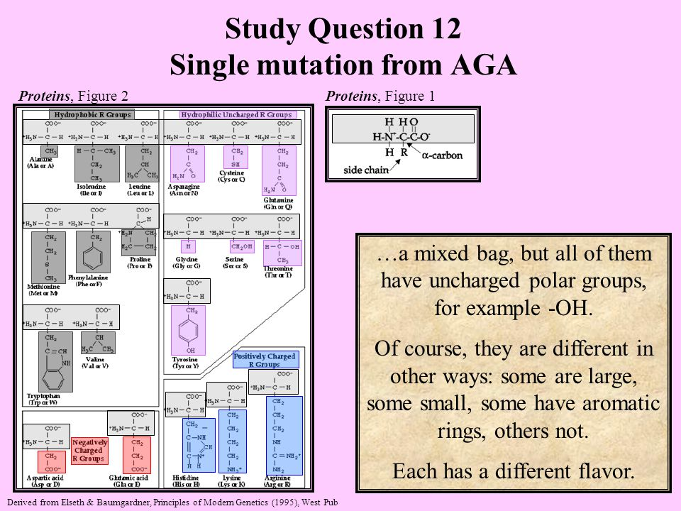 Study Question 12 Single mutation from AGA Proteins, Figure 2 Proteins, Figure 1 Derived from Elseth & Baumgardner, Principles of Modern Genetics (1995), West Pub …a mixed bag, but all of them have uncharged polar groups, for example -OH.