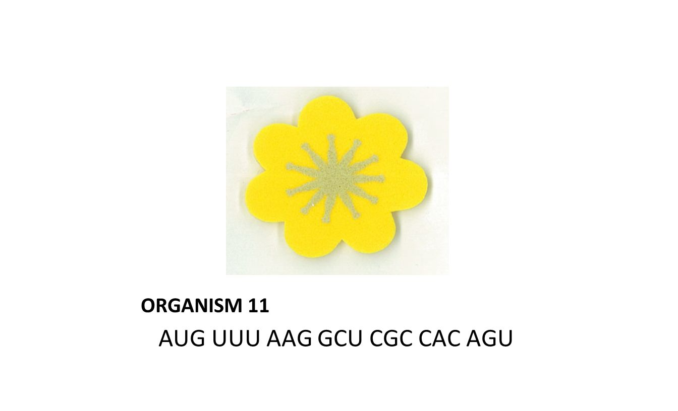 ORGANISM 11 AUG UUU AAG GCU CGC CAC AGU