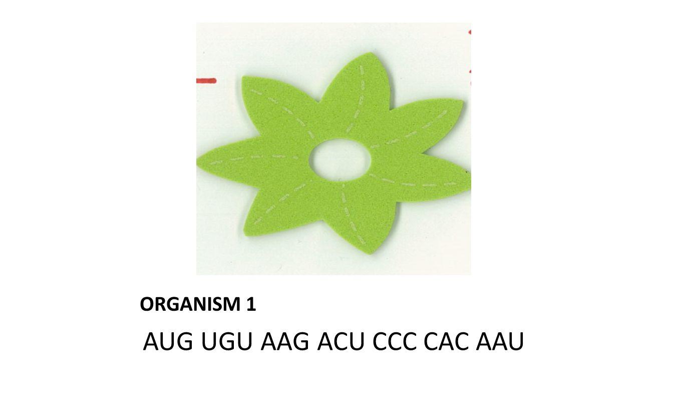 ORGANISM 1 AUG UGU AAG ACU CCC CAC AAU