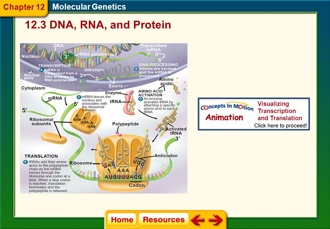 Molecular Genetics Translation  In translation, tRNA molecules act as the interpreters of the mRNA codon sequence.