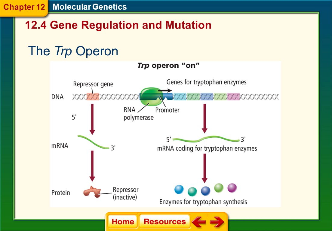 12.4 Gene Regulation and Mutation Molecular Genetics Prokaryote Gene Regulation  Ability of an organism to control which genes are transcribed in response to the environment  An operon is a section of DNA that contains the genes for the proteins needed for a specific metabolic pathway.