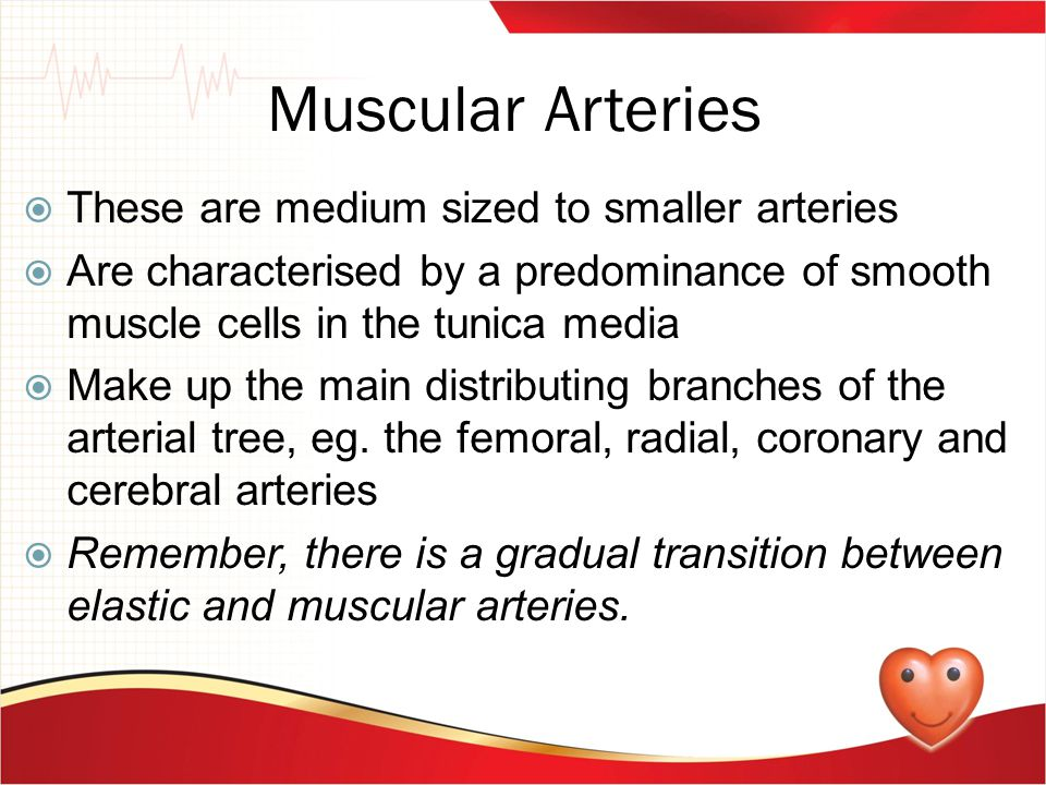 Muscular Arteries  These are medium sized to smaller arteries  Are characterised by a predominance of smooth muscle cells in the tunica media  Make