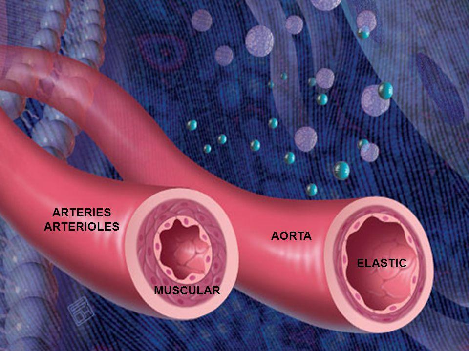 AORTA ARTERIES ARTERIOLES ELASTIC MUSCULAR