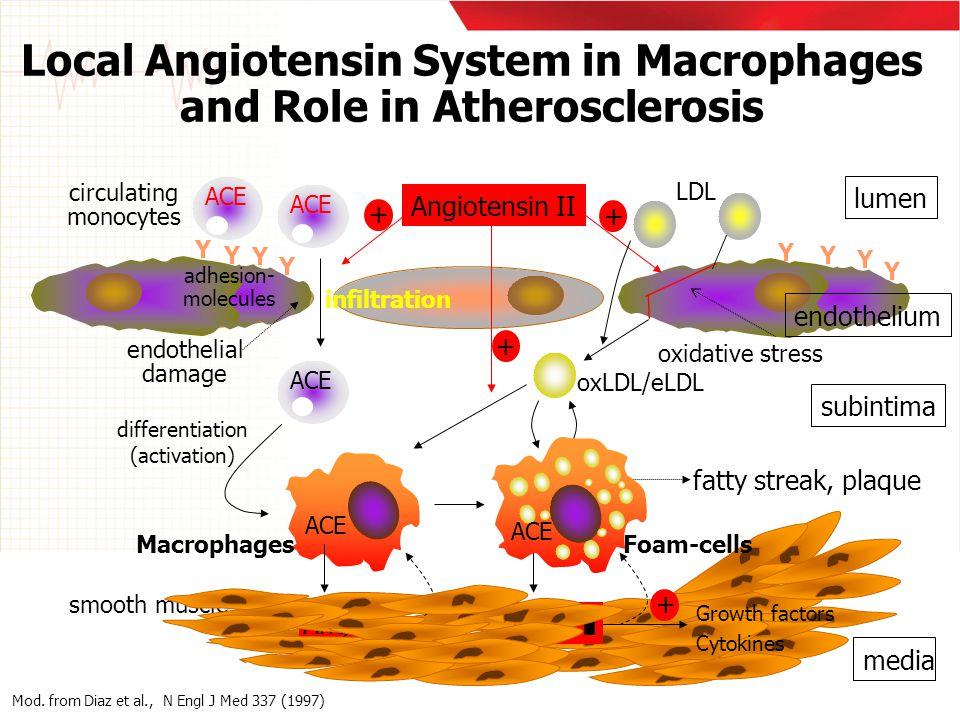 Y Y Y Y Y Y Y Y ACE Angiotensin II LDL endothelial damage oxLDL/eLDL lumen subintima + + ACE Macrophages + Ang II media Foam-cells smooth muscle cells