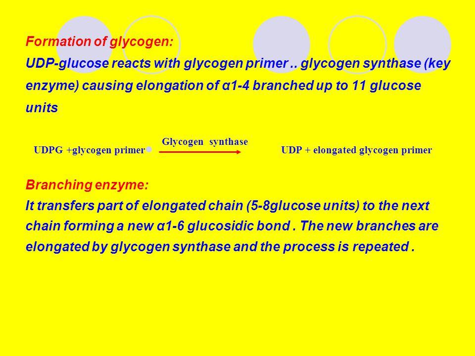 Formation of glycogen: UDP-glucose reacts with glycogen primer.. glycogen synthase (key enzyme) causing elongation of α1-4 branched up to 11 glucose u