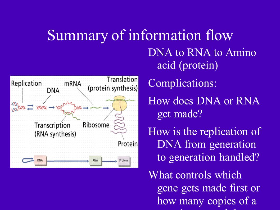 Summary of information flow DNA to RNA to Amino acid (protein) Complications: How does DNA or RNA get made.
