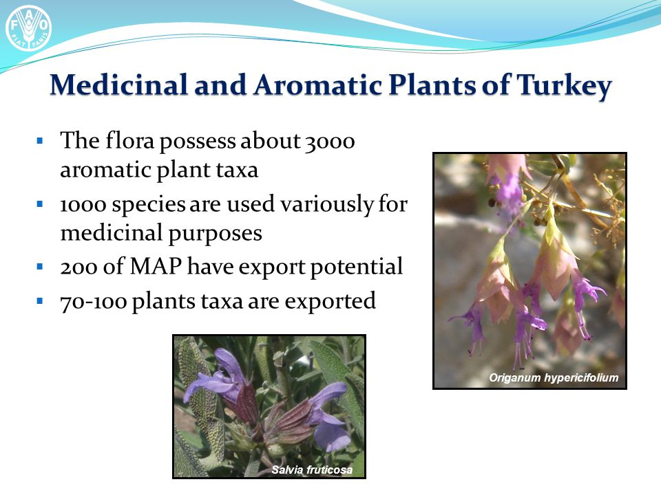 Medicinal and Aromatic Plants of Turkey  The flora possess about 3000 aromatic plant taxa  1000 species are used variously for medicinal purposes  200 of MAP have export potential  70-100 plants taxa are exported Origanum hypericifolium Salvia fruticosa