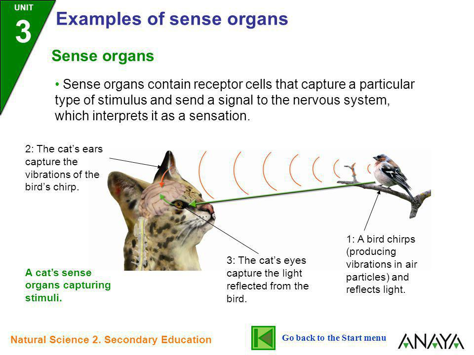 Sense organs contain receptor cells that capture a particular type of stimulus and send a signal to the nervous system, which interprets it as a sensa