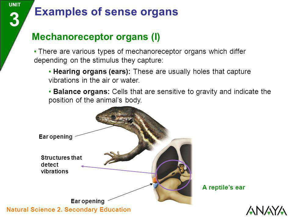 There are various types of mechanoreceptor organs which differ depending on the stimulus they capture: Hearing organs (ears): These are usually holes