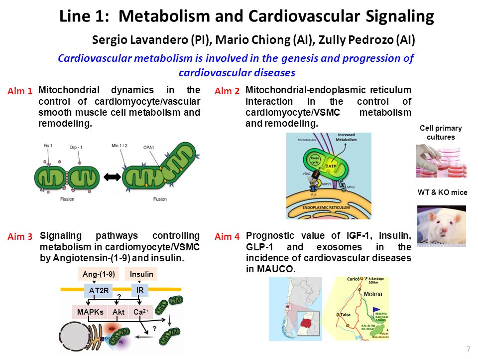 Line 1: Metabolism and Cardiovascular Signaling Sergio Lavandero (PI), Mario Chiong (AI), Zully Pedrozo (AI) Mitochondrial dynamics in the control of cardiomyocyte/vascular smooth muscle cell metabolism and remodeling.