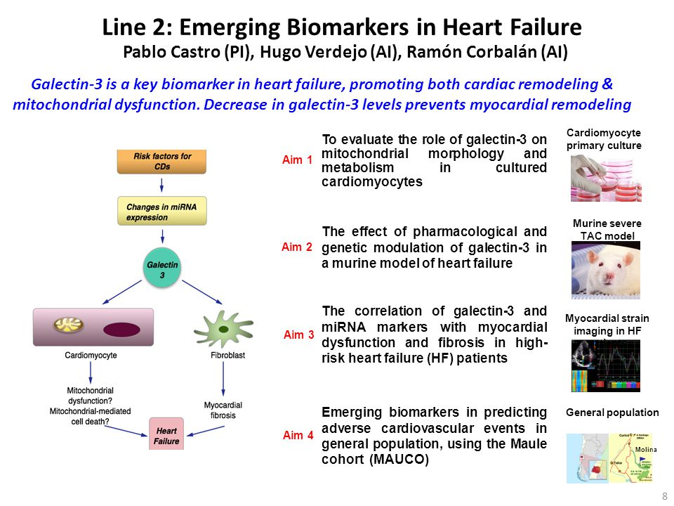 Line 2: Emerging Biomarkers in Heart Failure Pablo Castro (PI), Hugo Verdejo (AI), Ramón Corbalán (AI) Cardiomyocyte primary culture Aim 1 Aim 2 Aim 3 Aim 4 To evaluate the role of galectin-3 on mitochondrial morphology and metabolism in cultured cardiomyocytes The effect of pharmacological and genetic modulation of galectin-3 in a murine model of heart failure Murine severe TAC model The correlation of galectin-3 and miRNA markers with myocardial dysfunction and fibrosis in high- risk heart failure (HF) patients Myocardial strain imaging in HF patients Emerging biomarkers in predicting adverse cardiovascular events in general population, using the Maule cohort (MAUCO) General population Galectin-3 is a key biomarker in heart failure, promoting both cardiac remodeling & mitochondrial dysfunction.