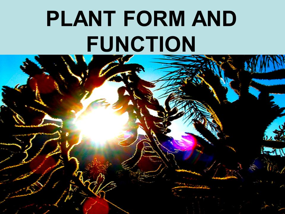 YOU MUST KNOW… THE FUNCTION OF XYLEM AND PHLOEM TISSUE THE SPECIFIC FUNCTIONS OF TRACHEIDS, VESSELS, SIEVE-TUBE ELEMENTS, AND COMPANION CELLS THE CORRELATION BETWEEN PRIMARY GROWTH AND APICAL MERISTEMS VERSUS SECONDARY GROWTH AND LATERAL MERISTEMS