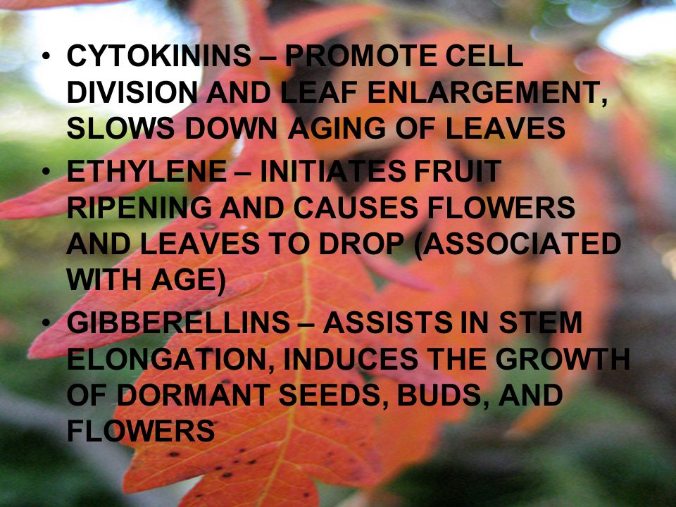 CYTOKININS – PROMOTE CELL DIVISION AND LEAF ENLARGEMENT, SLOWS DOWN AGING OF LEAVES ETHYLENE – INITIATES FRUIT RIPENING AND CAUSES FLOWERS AND LEAVES