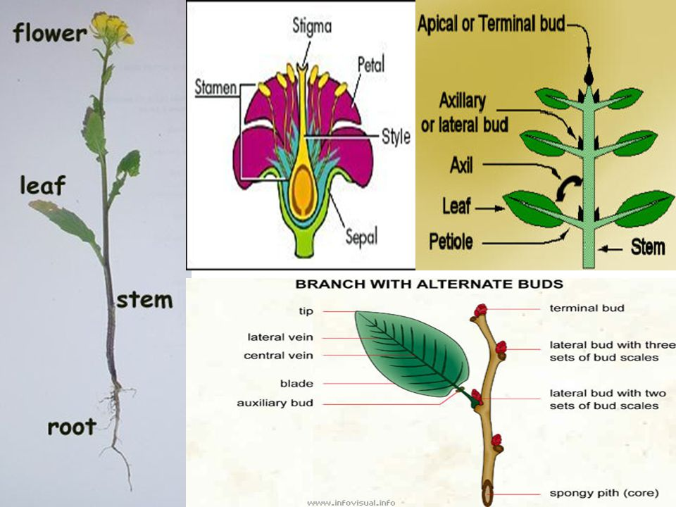 3 PLANT ORGAN TISSUES DERMAL TISSUE – CLOSELY PACKED CELLS THAT PROTECTS PLANT AGAINST WATER LOSS AND INVASION OF PATHOGENS VASCULAR TISSUE – TRANSPORTS MATERIALS BETWEEN ROOTS AND SHOOTS XYLEM – TRANSPORTS WATER AND MINERAL UP FROM THE ROOTS PHLOEM – TRANSPORTS FOOD FROM THE LEAVES TO OTHER PARTS OF PLANT GROUND TISSUE – BETWEEN THE DERMAL AND VASCULAR TISSUE.