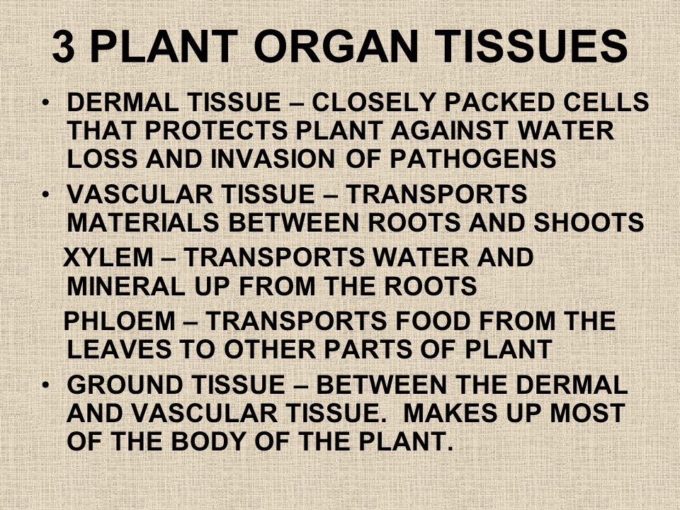 3 PLANT ORGAN TISSUES DERMAL TISSUE – CLOSELY PACKED CELLS THAT PROTECTS PLANT AGAINST WATER LOSS AND INVASION OF PATHOGENS VASCULAR TISSUE – TRANSPOR