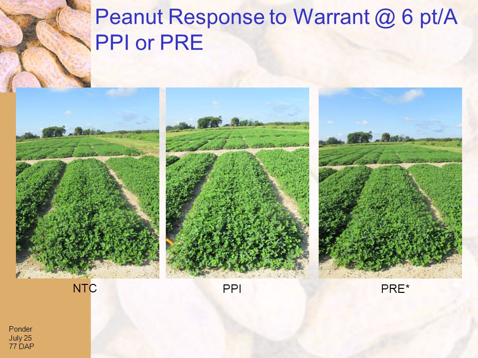Peanut Response to Warrant @ 6 pt/A PPI or PRE Ponder July 25 77 DAP NTC PPIPRE*
