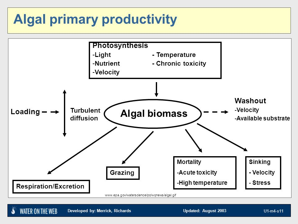 Developed by: Merrick, Richards Updated: August 2003 U1-m4-s11 Algal primary productivity Photosynthesis -Light- Temperature -Nutrient- Chronic toxicity -Velocity Respiration/Excretion Grazing Mortality -Acute toxicity -High temperature Sinking - Velocity - Stress Algal biomass Washout -Velocity -Available substrate Loading Turbulent diffusion www.epa.gov/waterscience/pc/wqnews/algal.gif