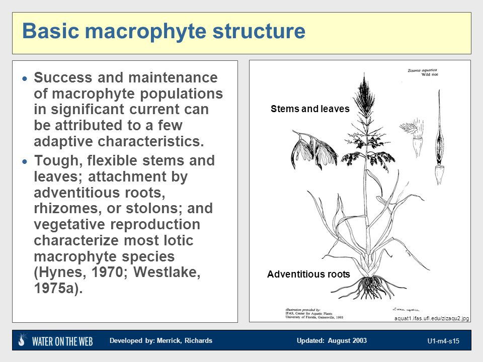 Developed by: Merrick, Richards Updated: August 2003 U1-m4-s15 Basic macrophyte structure  Success and maintenance of macrophyte populations in significant current can be attributed to a few adaptive characteristics.