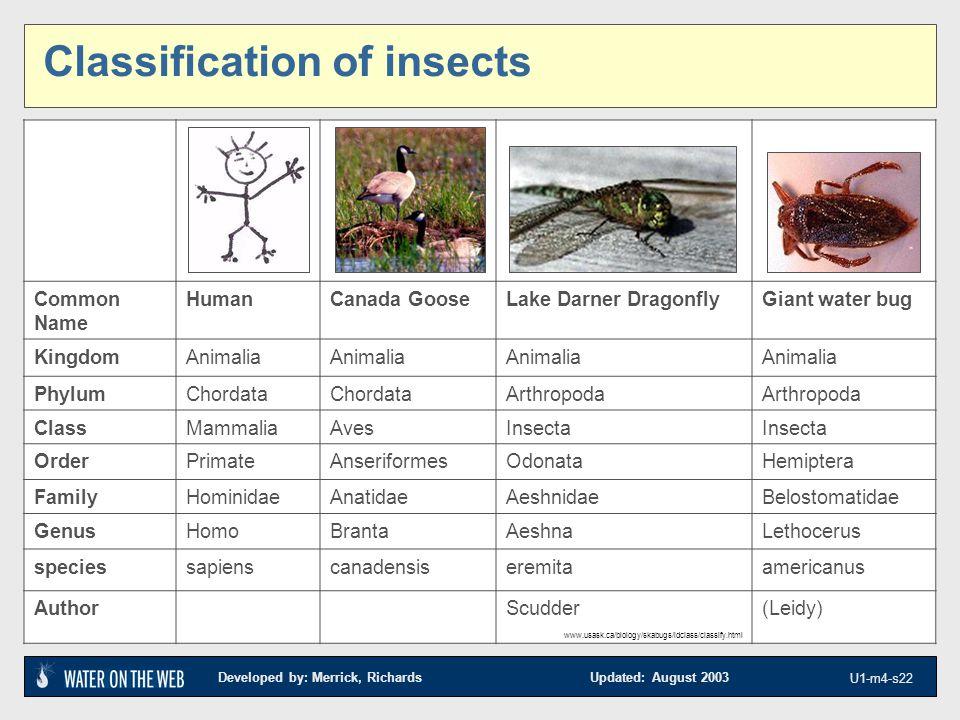 Developed by: Merrick, Richards Updated: August 2003 U1-m4-s22 Classification of insects Common Name HumanCanada GooseLake Darner DragonflyGiant water bug KingdomAnimalia PhylumChordata Arthropoda ClassMammaliaAvesInsecta OrderPrimateAnseriformesOdonataHemiptera FamilyHominidaeAnatidaeAeshnidaeBelostomatidae GenusHomoBrantaAeshnaLethocerus speciessapienscanadensiseremitaamericanus AuthorScudder(Leidy) www.usask.ca/biology/skabugs/idclass/classify.html