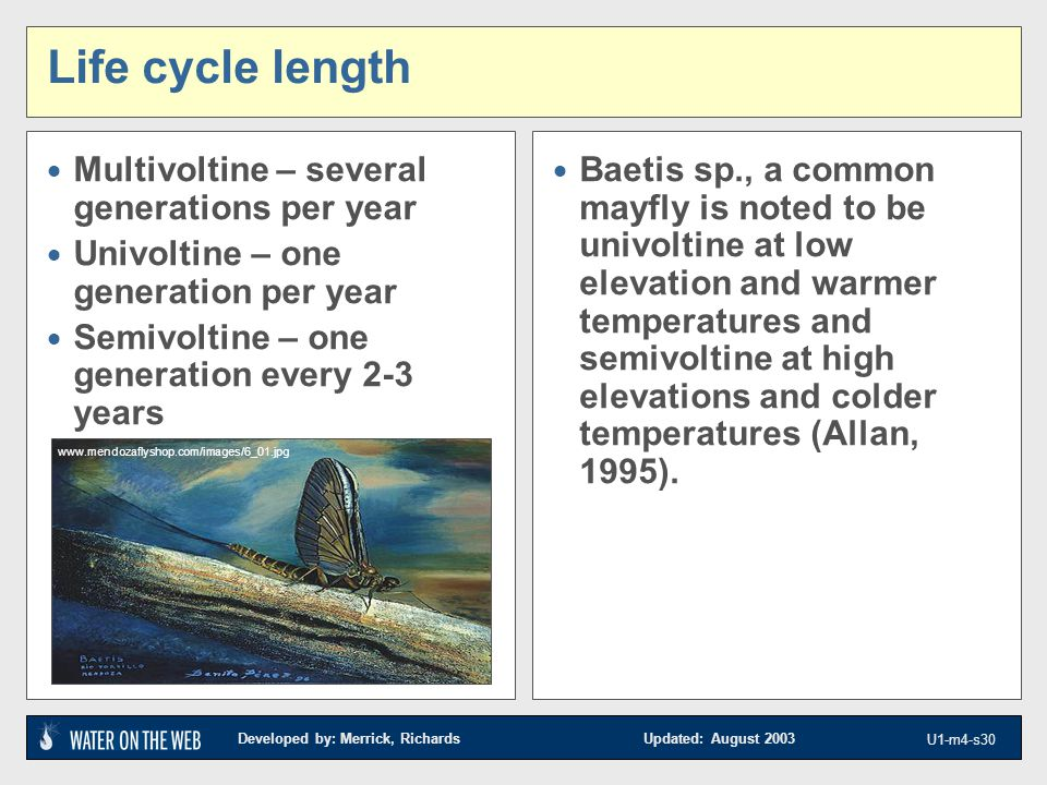 Developed by: Merrick, Richards Updated: August 2003 U1-m4-s30 Life cycle length  Multivoltine – several generations per year  Univoltine – one generation per year  Semivoltine – one generation every 2-3 years  Baetis sp., a common mayfly is noted to be univoltine at low elevation and warmer temperatures and semivoltine at high elevations and colder temperatures (Allan, 1995).